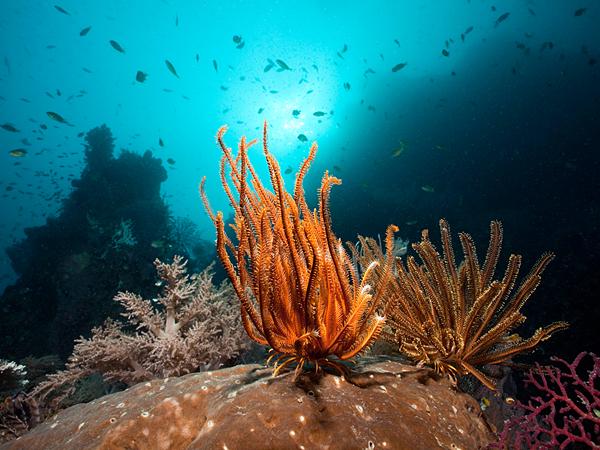 coral-raja-ampat-indonesia_61097_600x450